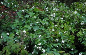 Schneebeere pflanzen