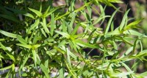 Estragon vermehren