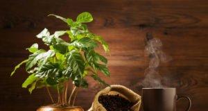 © gkrphoto - Fotolia.com / Der Kaffeestrauch bildet auch Bohnen aus