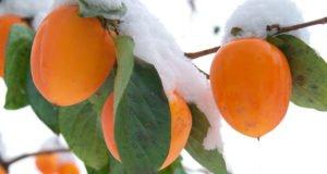 © さだぼー - Fotolia.com / Kakibäume brauchen im Winter Schutz