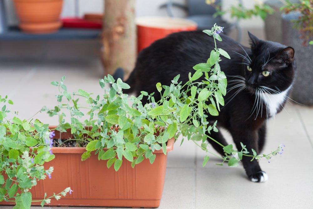 Katzenminze Wirkung Katzen