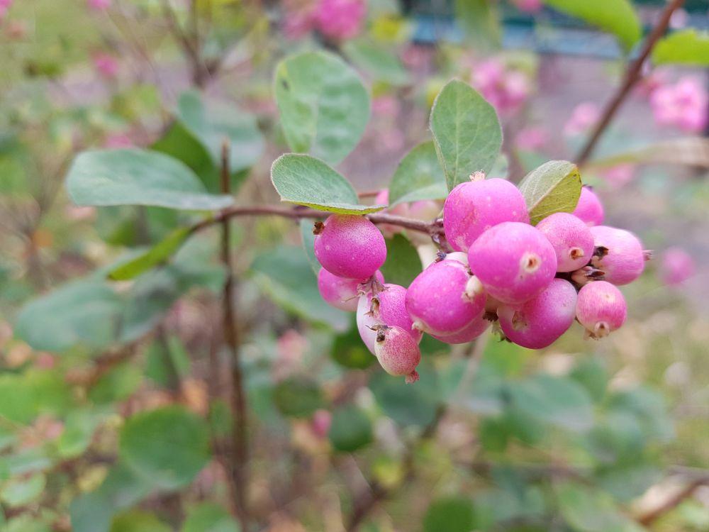 Schneebeere mit rosa Früchten