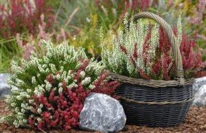 Sommerheide pflanzen