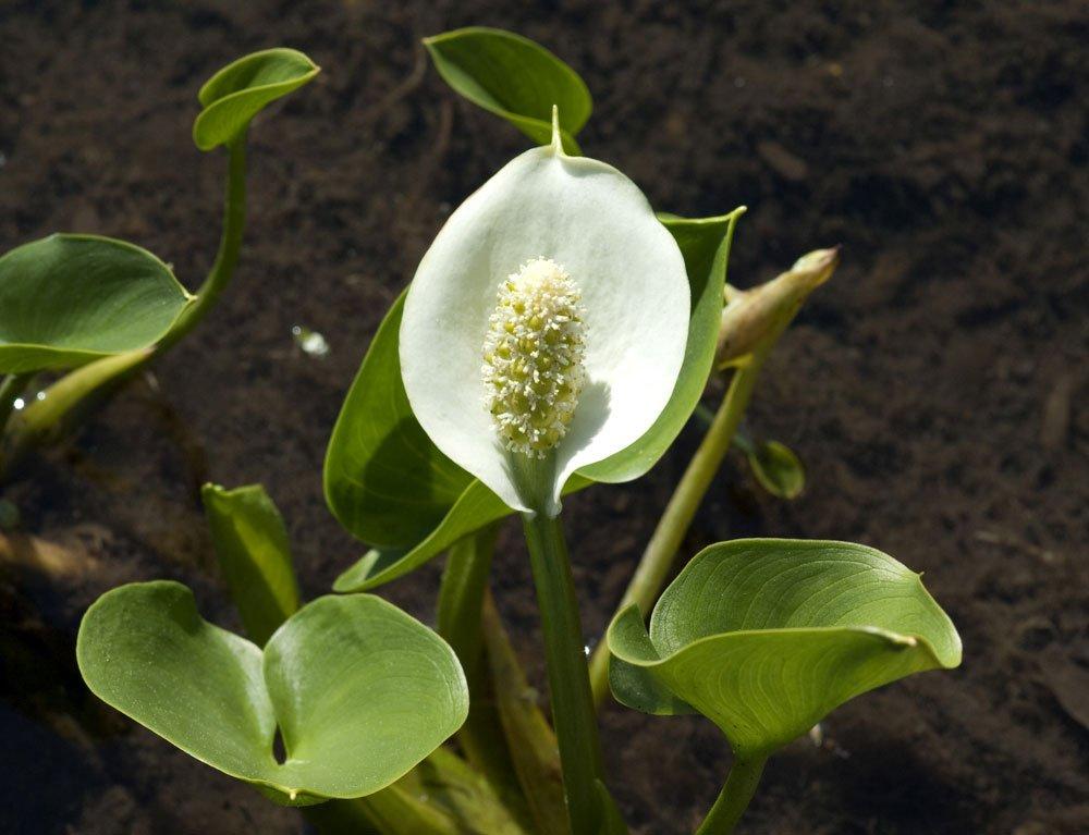 Sumpfcalla pflanzen und pflegen