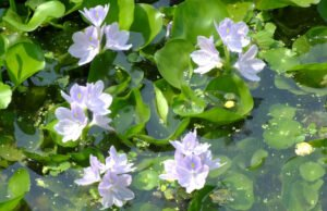 Wasserhyazinthen pflanzen