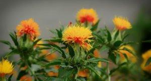 Blütenstand der Färberdistel