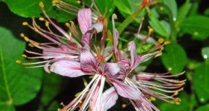 Blüten vom Diptam