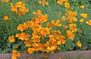 Goldmohn pflanzen