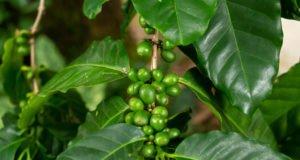 Kaffeestrauch vermehren