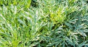 Junge Pflanzen des Italienischen Beifuß