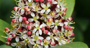Skimmia umpflanzen - Tipps zu Standort, Zeitpunkt und Boden