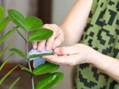 Zamioculcas: So erkennen und bekämpfen Sie Krankheiten und Schädlinge