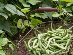 Buschbohnen pflanzen pflege Ernte