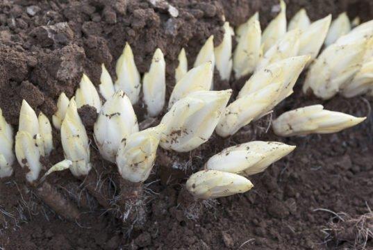 Chicorée anbauen
