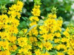 Blütenstände des Gold-Felberich.