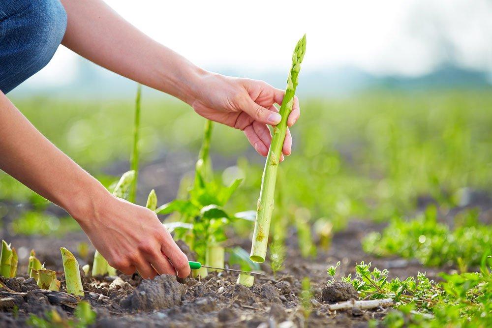 Grüner Spargel Ernte
