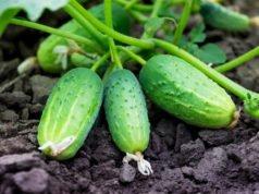Gurken gießen