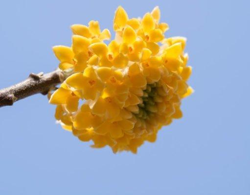 Blüte des Japanischen Papierbuschs
