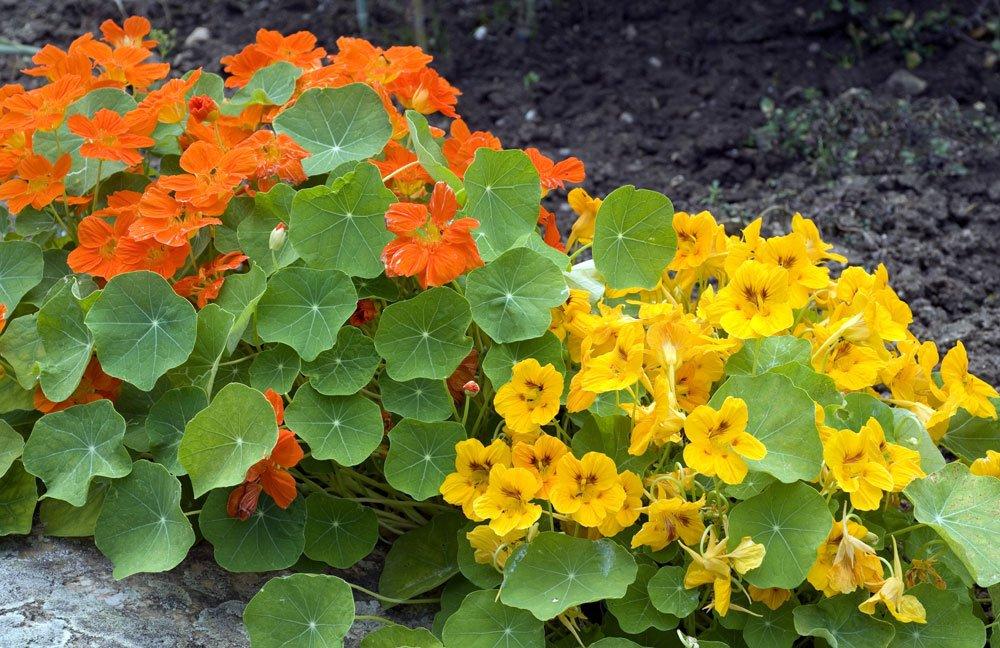 Kapuzinerkresse pflanzen