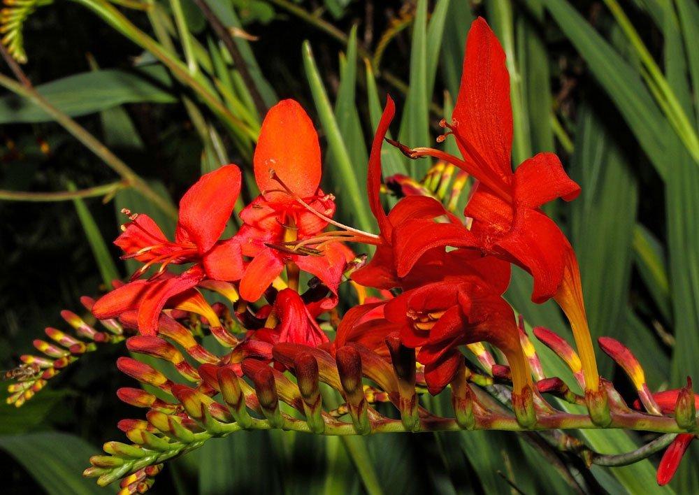 Blütenrispe der Montbretie