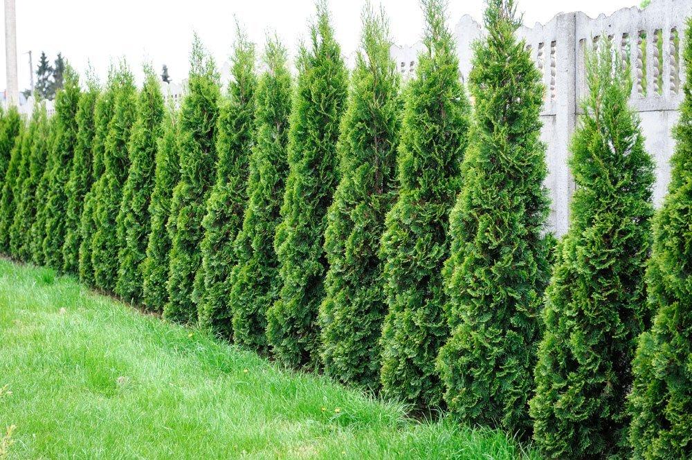 thuja smaragd pflanzen düngen und schneiden