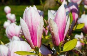 Tulpenmagnolie