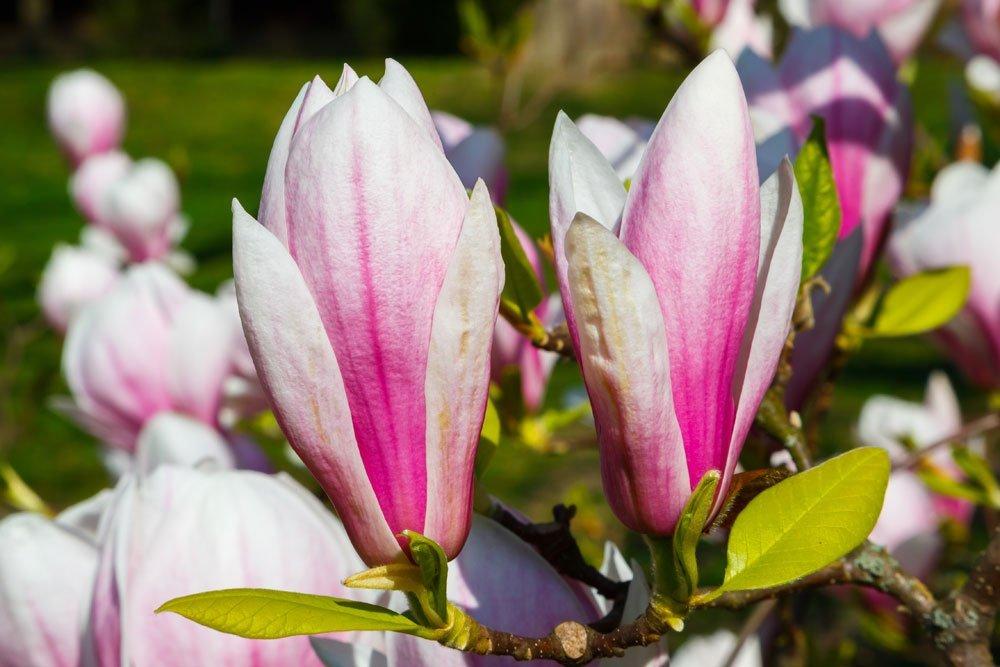 Außergewöhnlich Tulpenmagnolie: Tipps zu Standort, Boden und Pflege &NL_73