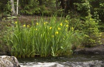 Wasser Schwertlilie: Aussehen, Standort & Pflegehinweise