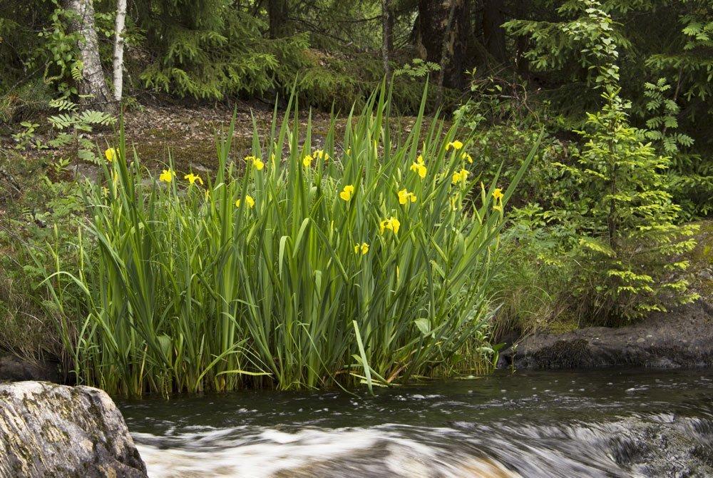 Wasserschwertlilie: Aussehen, Standort & Pflegehinweise