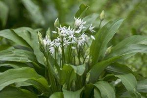 Bärlauch pflanzen - Standort, Pflege & Kombinationsmöglichkeiten