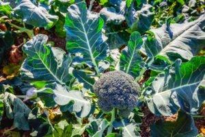 Brokkoli pflegen