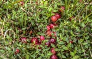 Cranberry Pflanze