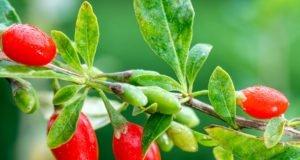 Früchte der Goji Beere