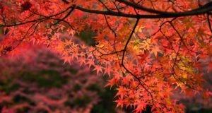 Japanischer Ahorn