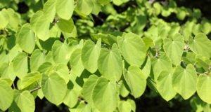 Kuchenbaum: Krankheiten und Schädlinge erkennen und bekämpfen