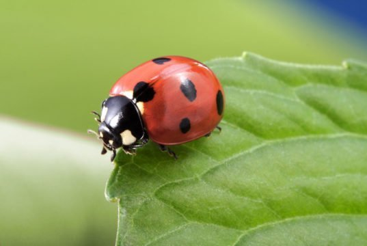 Marienkäfer in den Garten locken