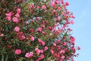 Oleander pflanzen - Tipps zum Standort, Dünger & Wasserbedarf
