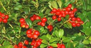 Preiselbeeren: Beliebte Sorten für den Garten vorgestellt