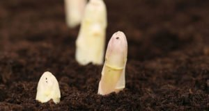 Weißen Spargel pflanzen Tipps