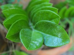 Zamioculcas vermehren