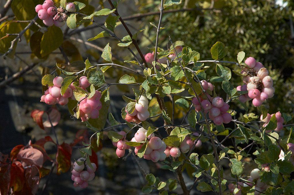 Ziergarten - Amethysbeere