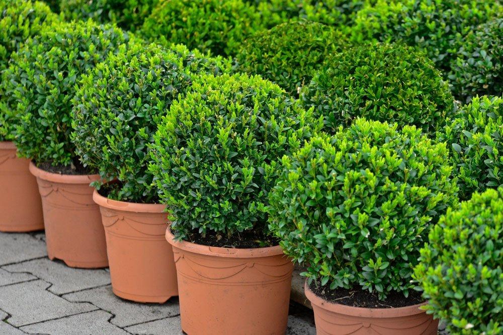 Ziergarten Buchsbaum