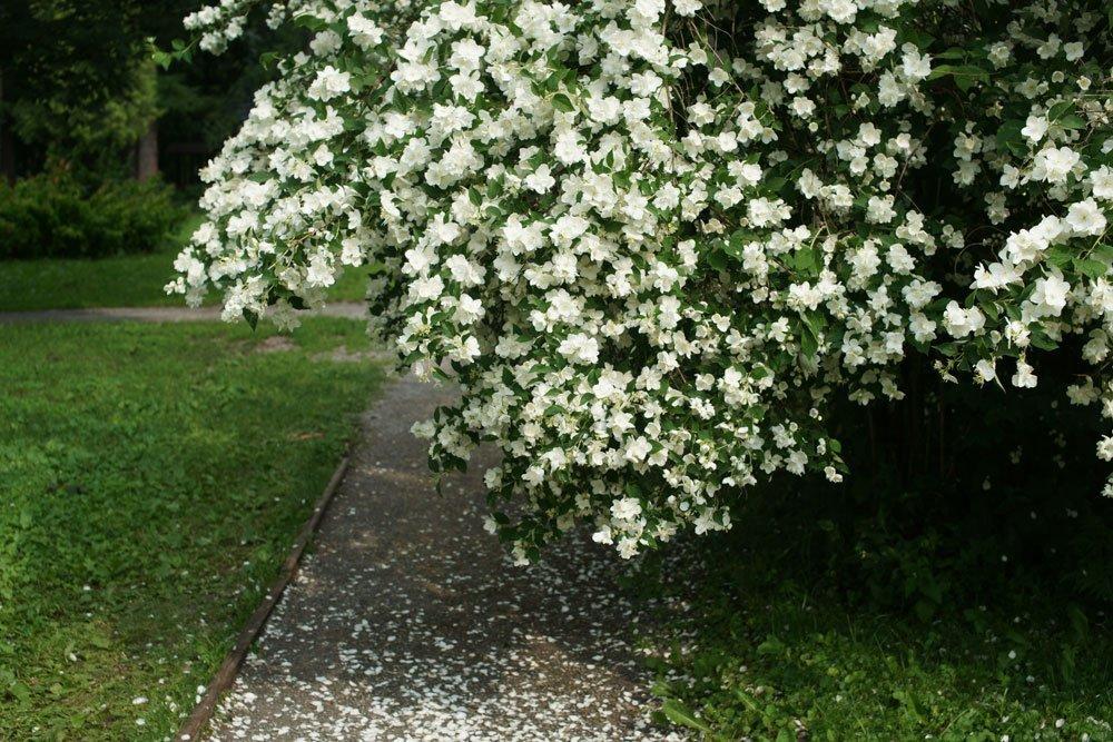 Ziergarten - Gartenjasmin