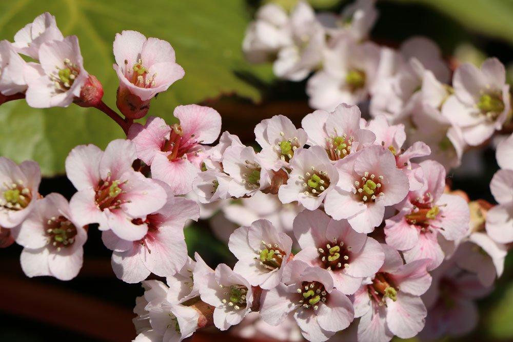 Bergenienblüten