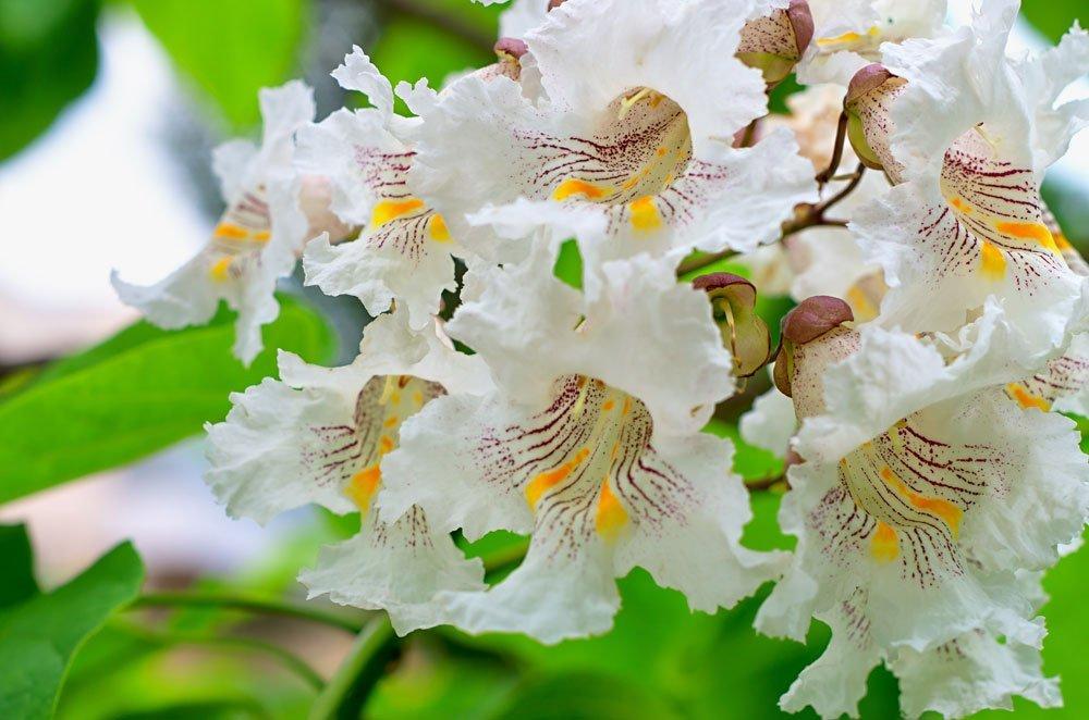 Trompetenbaum Blüten