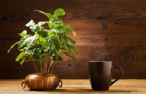 Kaffeestrauch pflegen