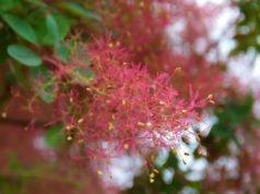 Perückenstrauch Blüte