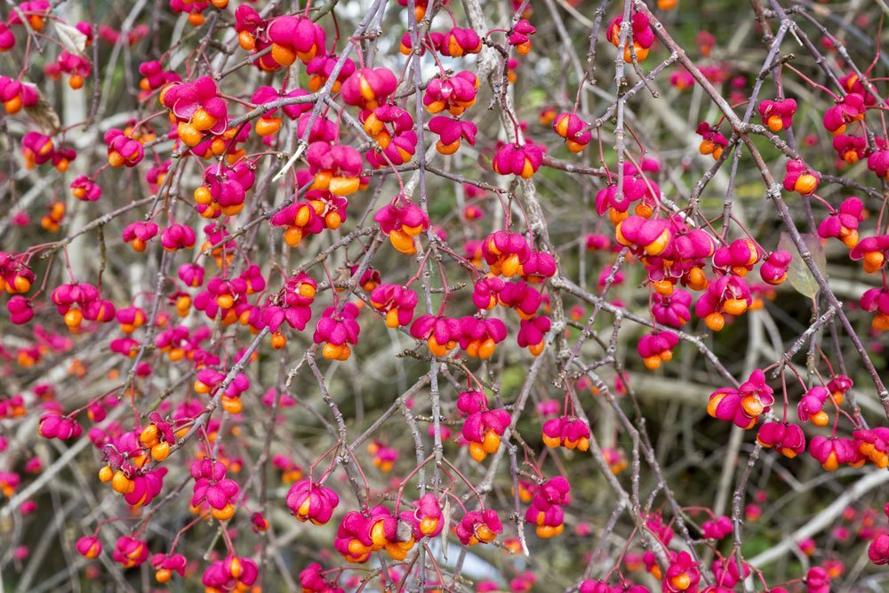 Pfaffenhütchen Blüten
