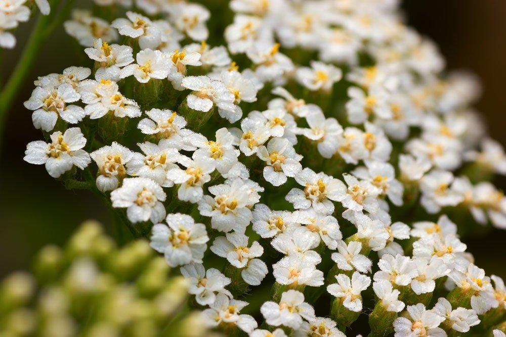 Blüten der Schafgarbe
