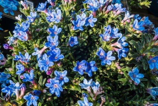 Blütensterne der Steinsame